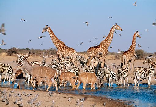 Perfect Zebras Zebra