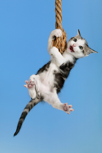 Cat Swinging From Ceiling Fan-- This is one of the