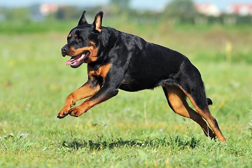Rottweiler Dog Puppy Price