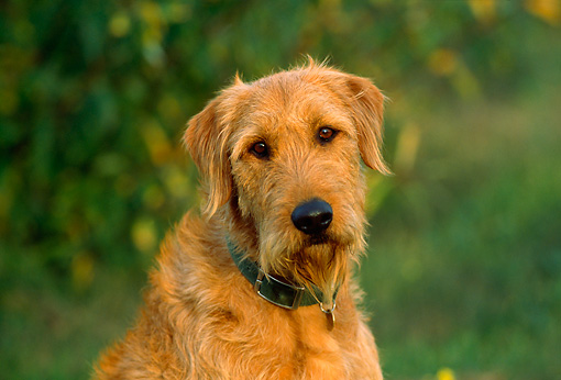 Airedale Terrier Lab Mix | www.imgkid.com - The Image Kid ...
