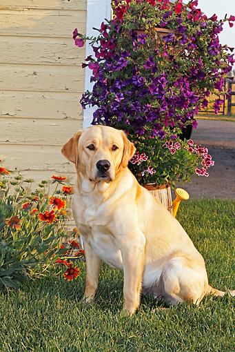 Dog house animal stock photos kimballstock for Dog house for labrador retriever