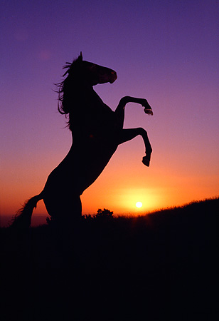 Pics For > Horse Silhouette Sunset