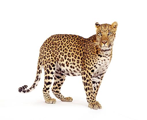 Jaguar Of Troy >> leopard - Animal Stock Photos - Kimballstock