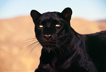 Jaguar Of Troy >> black panther - Animal Stock Photos - Kimballstock
