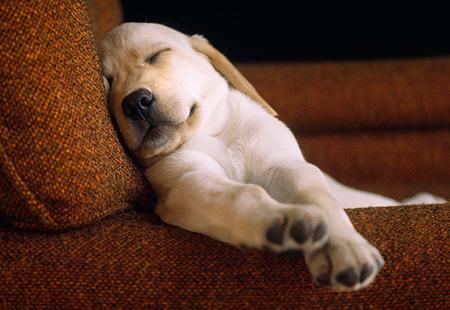 yellow lab puppy sleeping -#main