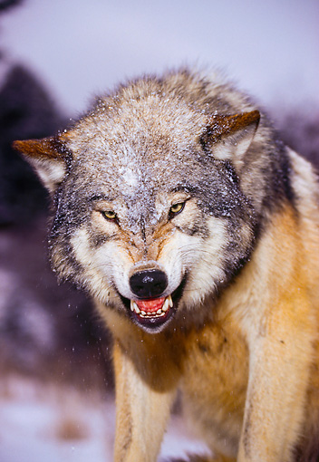 Wolf Growling Front View