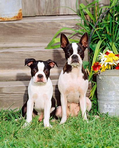 AD-BT8lymSC Boston Terrier Dog /'Love You Mum/' Single Leather Photo Coaster Anim