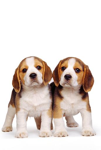 Two Beagle Puppies Standing On White Seamless Studio Kimballstock
