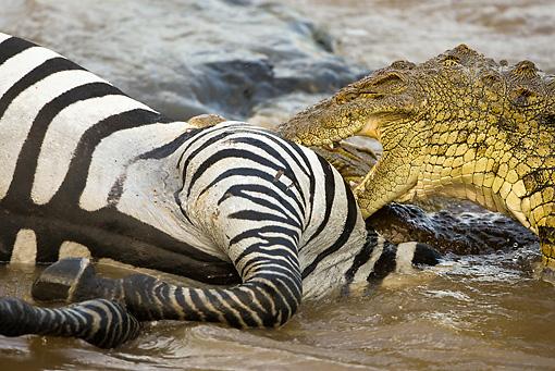 Nile crocodile eating zebra - photo#8