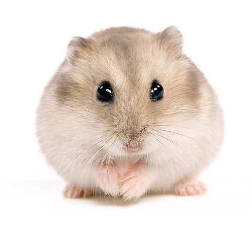 Hamster Animal Photos Kimballstock